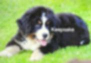 Bernese Mountian Dog AKC