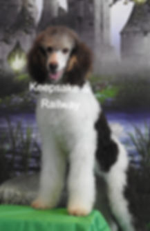 Standard Poodle AKC Chocolate PhantomTri Parti Color