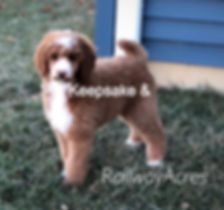 Stanard Poodle AKC Red Abstract