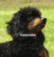 Moyen Poodle AKC Merle Phantom Color