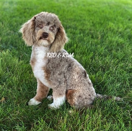 AKC Miniature Poodle Brown/Chocolate Merle