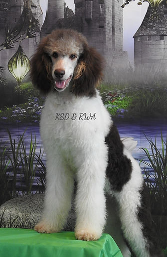AKC Standard Poodle Brown/Chocolate Tri Parti Color
