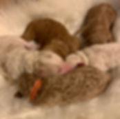 Goldendoodle Puppies available Mini - Medium