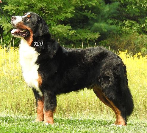 AKC Bernese Mountian Dog