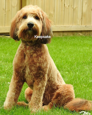 Miniature English Goldendoodle Multi Gen Red Sable