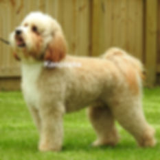 Mini Goldendoodles Multi Gen Apricot Abstract