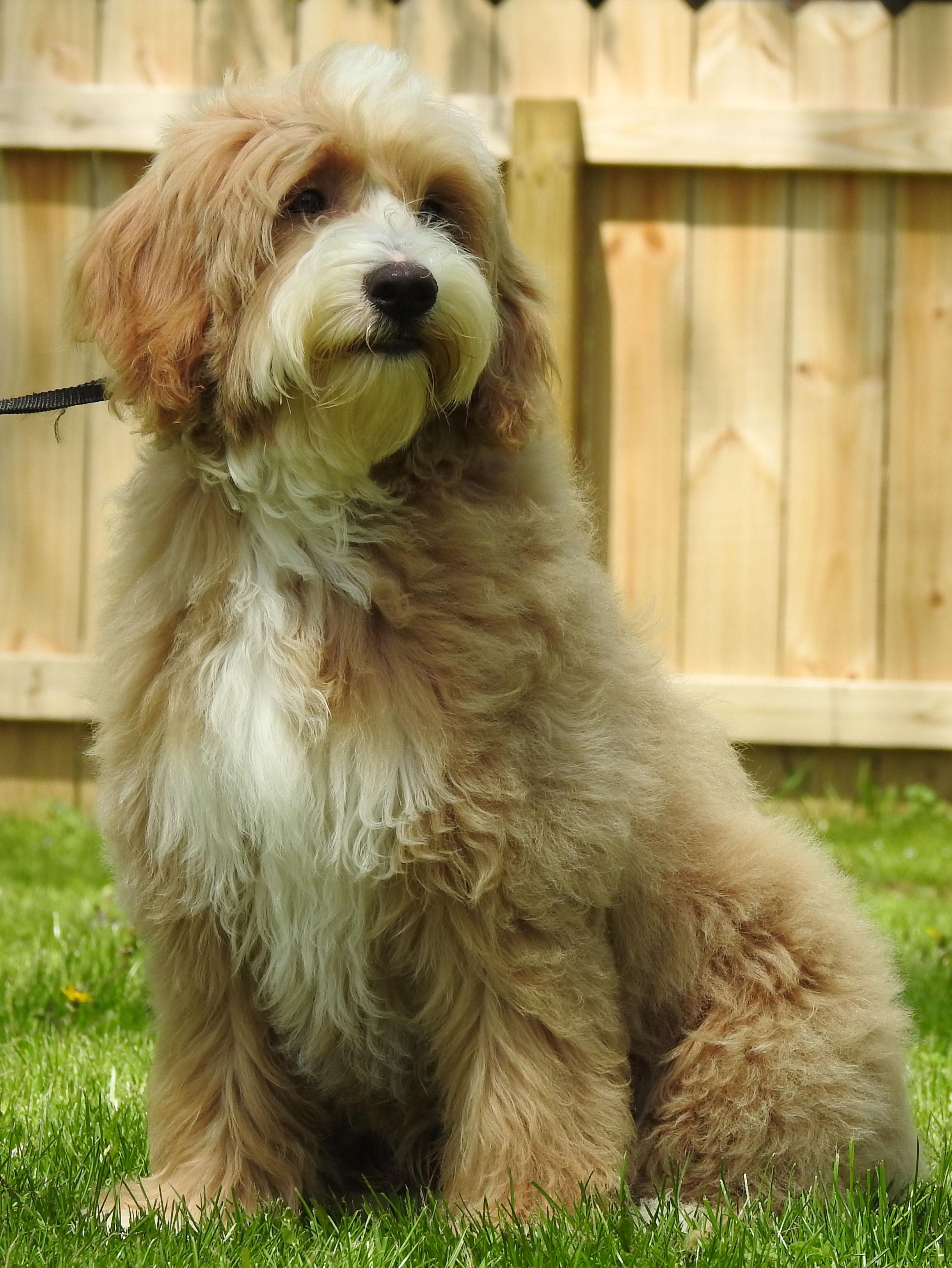 Goldendoodles Keepsake Goldendoodles And Poodles Ohio Usa