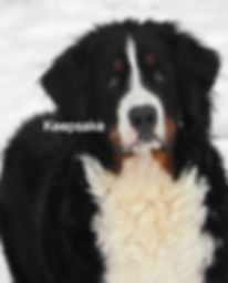 Bernese Mountian Dog AKC