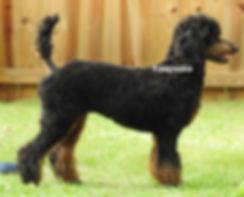 Moyen Poodle AKC Black Phantom