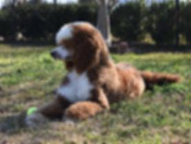 Santana Redley's Red 43pound St Poodle p
