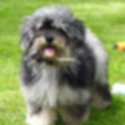AKC Toy Poodles Merle