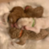 Goldendoodle Puppies available Mini - Medium