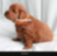 Goldendoodle F1 Petite Dark Apricot Abstract