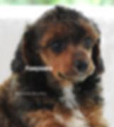 Miiniature Poodle AKC Sable Phantom Abstract