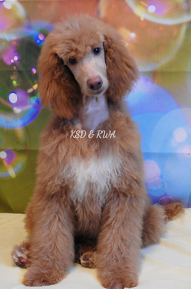 AKC Standard Poodle Dark Apricot Abstract
