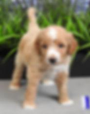Goldendoodle Puppies Petite & Mini