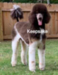 Standard Poodle AKC Chocolate Tuxedo Tri Color