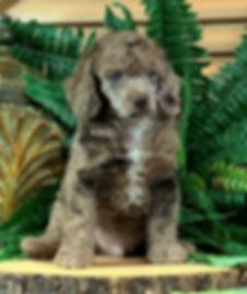 AKC Miniature Poodle Chocolate Merle