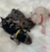 Merle Goldendoodle Puppies Petite & Mini