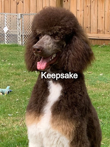Standard Poodle AKC Chocolate Tuxedo Tri Color