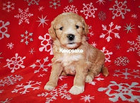 Goldendoodle F1b Miniature Apricot Abstract