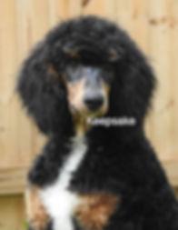 Standard Poodle AKC Black Phantom Abstract