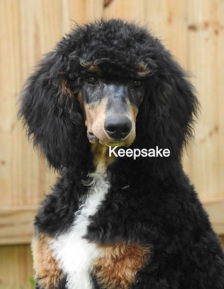 Standard Poodle AKC Black Phantom Abstract