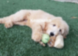 Goldendoodle F1 Medium/Standard Light Apricot Colo