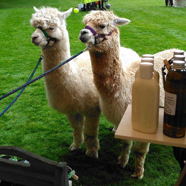 When the alpaca stops at your stall to say hi! #wasntexpectingthat #shopping #alpaca #natural #honeyandrose #jamesplace