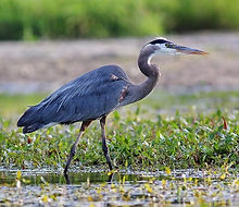 hilton-head-parks-birds-wildlife-768x602_edited.jpg
