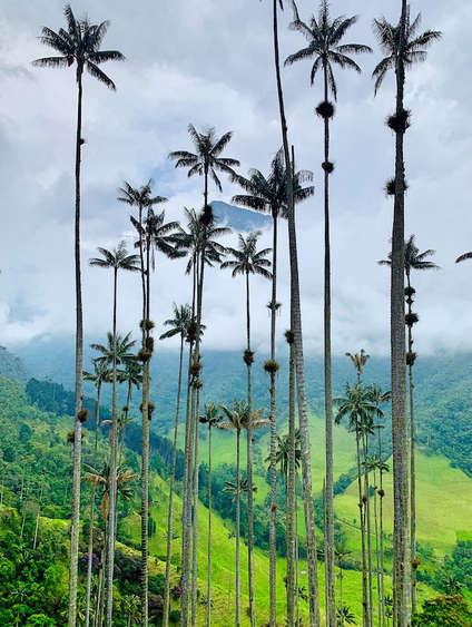 Las palmeras gigantes del Valle de Cocora. ©Elena Ortega (todos los derechos reservados)