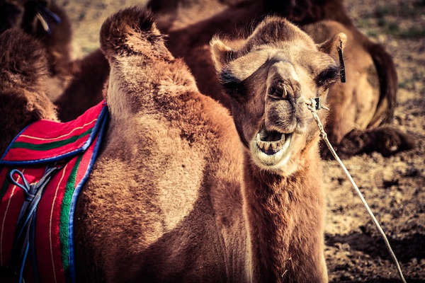 Camellos en el Gobi. ©Asier Calderón (todos los derechos reservados)