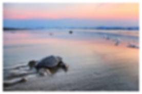 turtle_release1.jpg