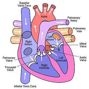 A Diagram of the Heart's Chamber and Major Vessels