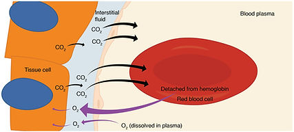 Oxygen Delivery in Red Blood Cells