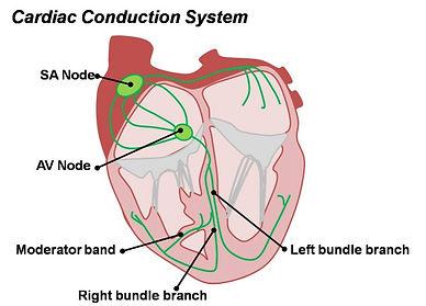 SA node.jpg