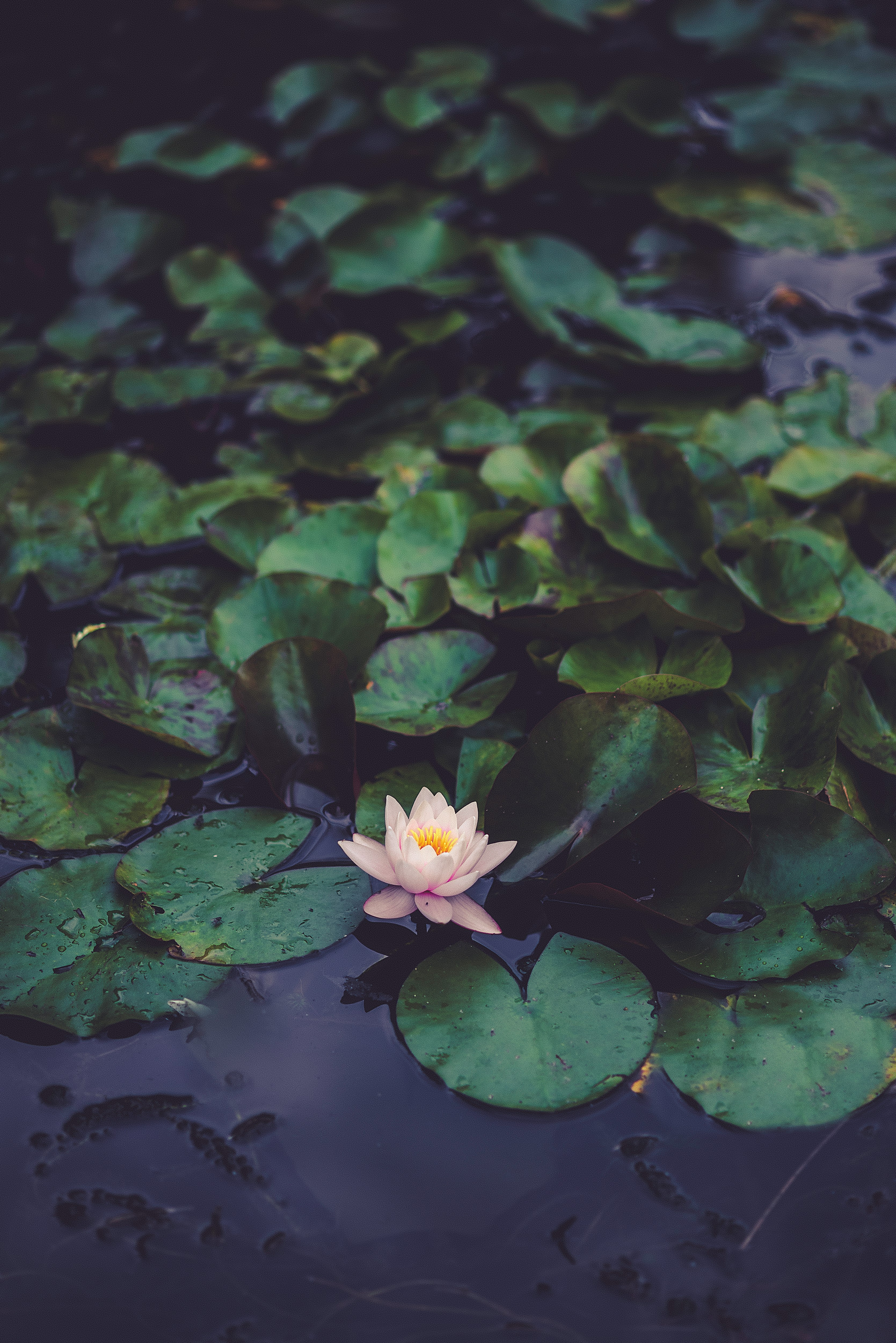 Water Lilly-2