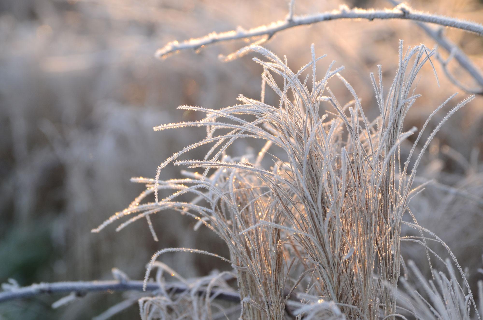 betoverd gras