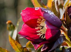 donkerrode helleborus