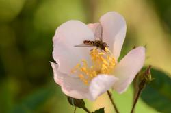 roosje met zweefvlieg