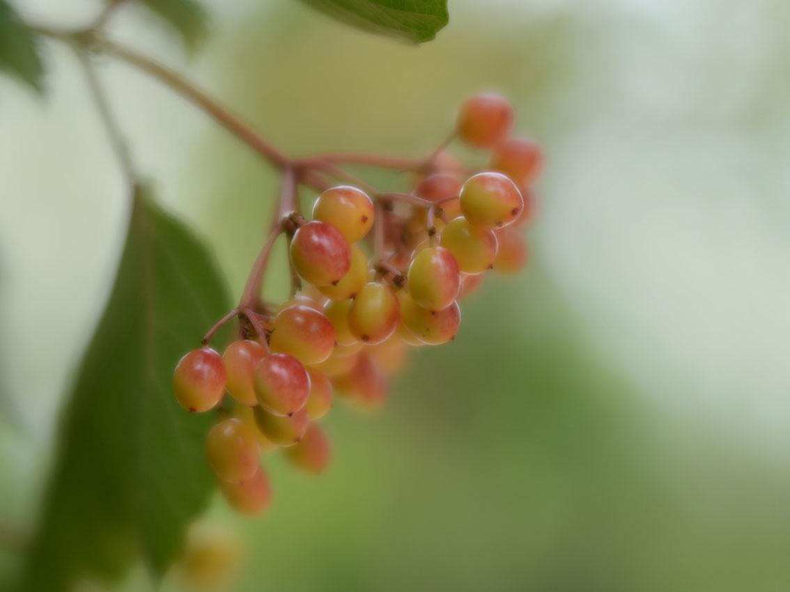 viburnum-bessen