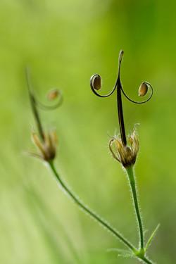 geranium-zaadjes