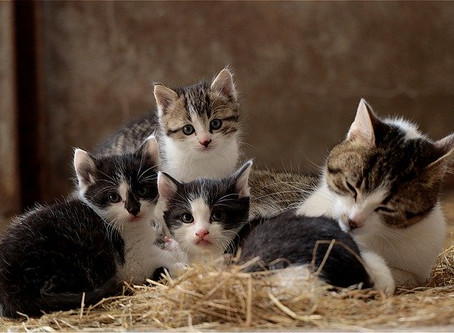 Faut-il faire stériliser son chat ou sa chatte ?