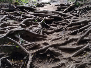 """""""Root Loops"""" on the Old Trappers Trail (The reason Brad dropped Cheryl's cake in Chapt"""