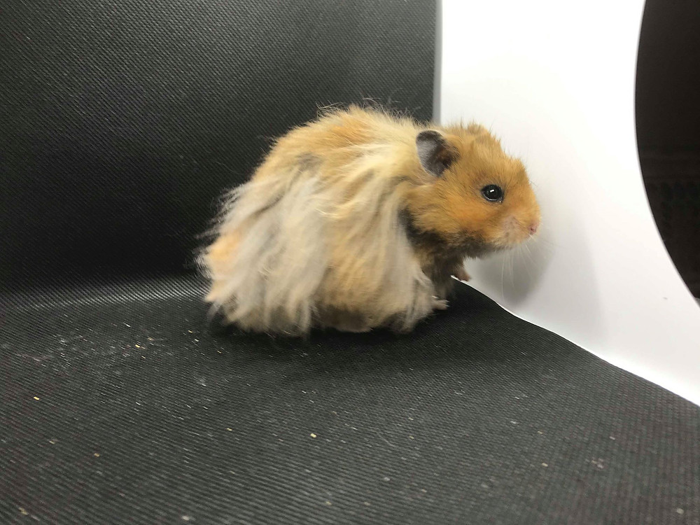 Longhaired syrian hamster male