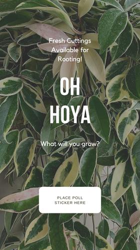 CB Flora Oh Hoya