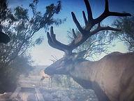 Elk Trail Cam 5.jpeg