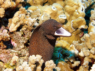 Eel with head sticking out of coral