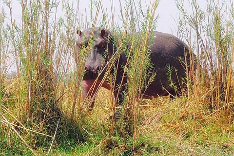 馬拉威利翁代國家公園的河馬
