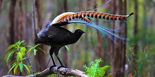 Lyrebird 3.png
